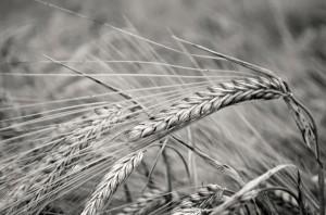 barley_206983-600x397